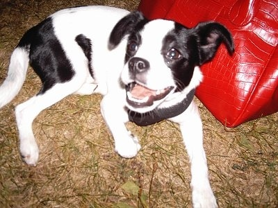 A short haired, happy looking, black and white dog with two black ears and a white muzzle laying down in brown grass