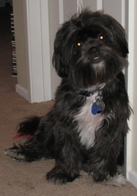 A long, wavy coated, black dog with a white chest and one white paw, with an underbite and long ears that hang to the sides leaving against a wall inside of a house