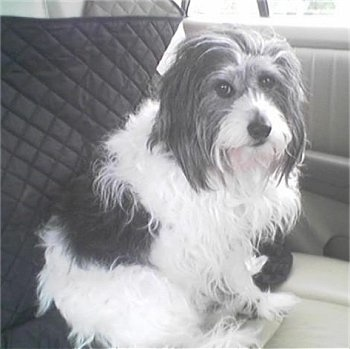 A medium sized, long coated, gray and white dog with long flowing hairs coming from her ears, a long thin muzzle, wide round dark eyes and a black nose sitting inside of a car