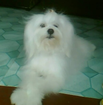 A small, soft, silky looking, pure white dog that looks like a muppet with a black nose and dark eyes and black lips laying down