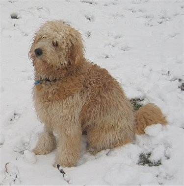 A medium sized tan, wavy coated dog with a very thick coat sitting down in snow