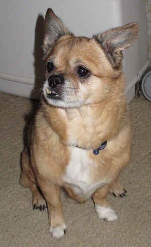 A small, tan, thick coated dog with a white chest and paws, prick ears, large black eyes, a black nose with an underbite that makes the bottom teeth show sitting down on tan carpet