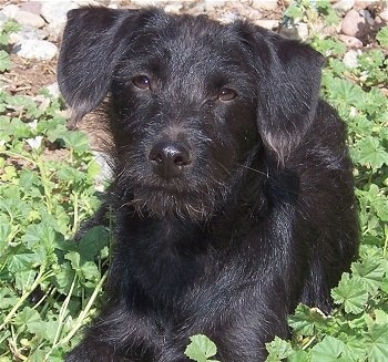Front view of a long coated, wiry looking black dog with long ears that hang down laying in grass