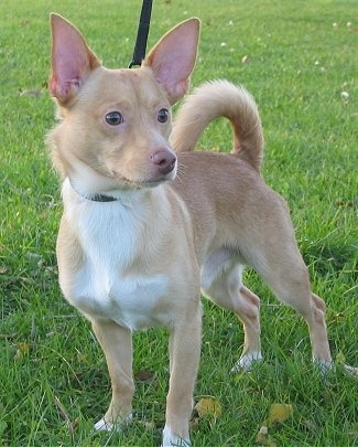 A small tan dog with a white chest, prick ears that stand up, a ring tail that curls up over his back, a small brown nose and dark eyes standing in grass