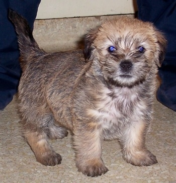 A small, fluffy tan with black puppy with small fold over ears standing on a tan carpet