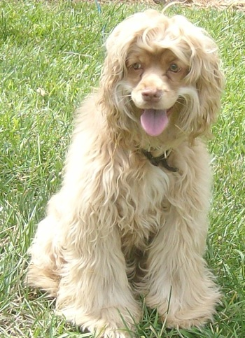 A medium sized, thick, long, wavy coated dog with long flowing hair that blends all the way to the ground with shorter hair on her muzzle looking happy sitting in the grass outside in the sun