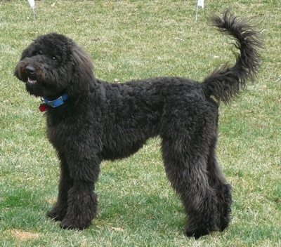 A very thick, long, wavy coated, black doodle dog with ears that hang to the sides and a long tail with thin fringe coming from it standing outside in grass