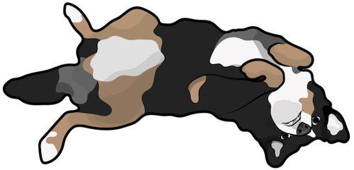 A large breed, tricolor black, tan and white dog laying upside down being silly