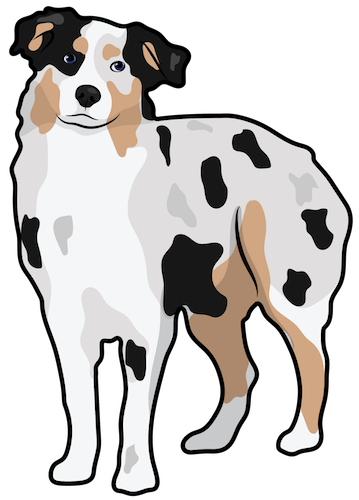 A merle colored black, tan and white dog with a thick coat and small fold over ears standing