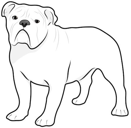 A white English Bulldog standing up
