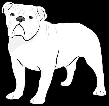 A white English Bulldog standing up