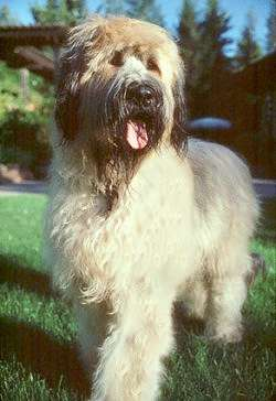 A large breed, thick coated, tan dog with black around her face and ears that hang to the sides with long hair on them standing outside in grass