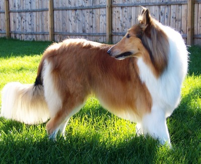 Side view of a large breed tan, white and black dog with a thick coat of fur and ears that stand up to a point with a long tail that has lots of fringe long hairs on it standing in grass