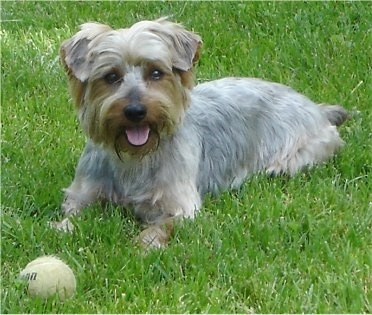A small tan and gray dog with longer hair on her face and undersides with small fold over ears laying down in grass with a tennis ball in front of her paws