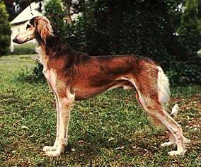 Side-view of a tall, long-legged brown and tan dog with a long body  and muzzle standing outside facing the right