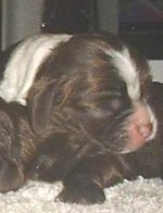 Close up - The front right side of a liver and white American Cocker Spaniel Puppy that is sleeping on top of other puppies.