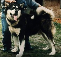 The left side of a black with white Alaskan Malamute that is standing across grass and there is a building behind it.
