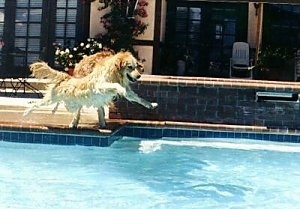 Bailey the Golden Retriever is in mid-air with all four paws off the ground jumping into a pool
