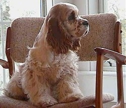 The front right side of a tan American Cocker Spaniel that is sitting on a chair and looking out a window that is to the right of it.