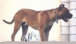 The right side of a brown with white Alano Español is standing on a concrete step and it is wearing a chain collar