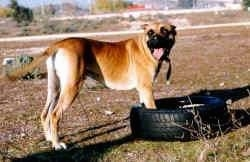A brown with white Alano Espanol is standing on grass with its front paws inside of a tire