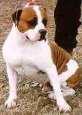 The front left side of a white with brown Alapaha Blue Blood Bulldog sitting on grass and there is a leash attached to it. There is a person standing behind it.