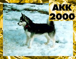 The left siode of a black with white Toy Alaskan Klee Kai that is standing snow. In the rop right corner of the image are the words 'AK200'