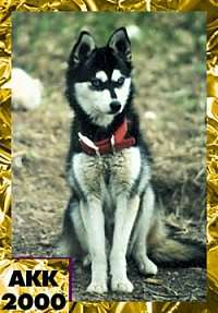 A black with white Alaskan Klee Kai is sitting on grass and it is wearing a big red collar. In the bottom left corner of the image are the words 'AK200'