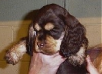 Close up - A Chocolate and tan American Cocker Spaniel puppy is being held in the air.