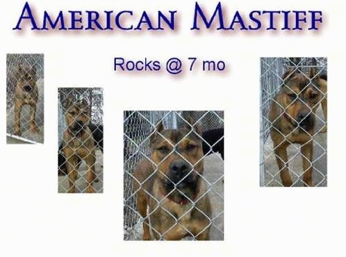 American Mastiff Poster that says 'American mastiff Rocks at 7 months'
