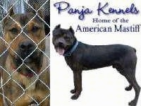 American Mastiff behind chain link fence next to a overlayed image that says'Panja Kennels home of the American mastiff'