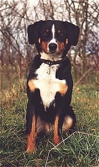 A black with brown and white Appenzell Mountain Dog sitting in grass and in area with a look of leafless trees behind it.