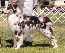 The left side of a merle Australian Shepherd that is standing across grass at a dog show. There is a person standing behind it.
