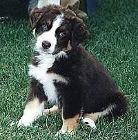 The left side of a black with white and tan Australian Shepherd puppy that is sitting in grass, its head is slightly tilted to the right and it is looking forward.