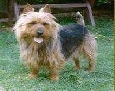 Australian Terrier standing on grass with its mouth open and tongue out