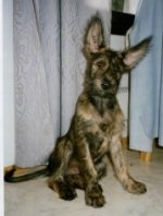 A Berger Picard puppy sitting in front of a curtain with its ears up