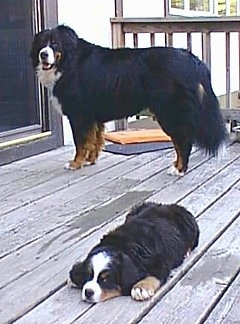 Robinson the Bernese Mountain Dogs standing in front of the house door and Andty the Bernese Mountain Dog Puppy laying on a wooden porch