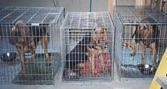 Three Bloodhounds lined up in three separate crates