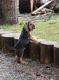 Bloodhound puppy jumping up at a wooden stump wall