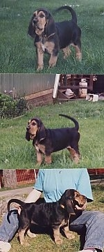 Top Photo - Bloodhound Puppy standing in a field. Middle Photo - Bloodhound Puppy standing in a yard. Bottom Photo - Bloodhound puppy standing between its owners legs who is sitting on the ground
