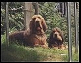 wo Bloodhounds laying outside looking at the camera holder