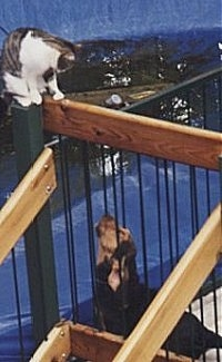 Bloodhound puppy on a deck looking up to a cat who is on the railing