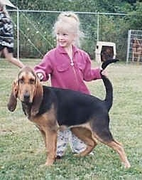 Bloodhound being posed by a little girl