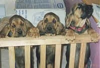 Three Bloodhound Puppies leaning against a railing