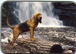 Grace the Bishop the Bloodhound standing on a log in front of a waterfall