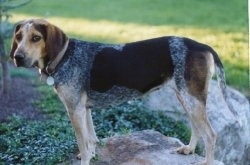 Hannah the black, tan, gray and white ticked English Coonhound is standing on a rock and there is a small tree next to her