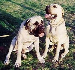 Bush and Bartho the Boerboels sitting outside with there mouths open and tongues out