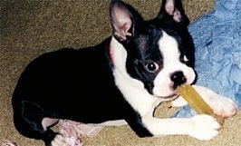 Jazz the Boston Terrier laying on a carpet chewing on a dog bone with a light blue blanket next to her