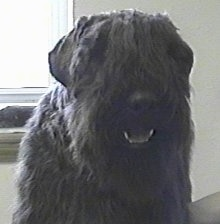 Close Up - Windmolen's Isadora the Bouvier des Flandres with its mouth open