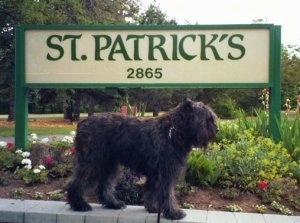 Left Profile - Paden the Bouvier des Flandres standing on a rock structure in front of a sign that says 'ST.PATRICKS 2865'